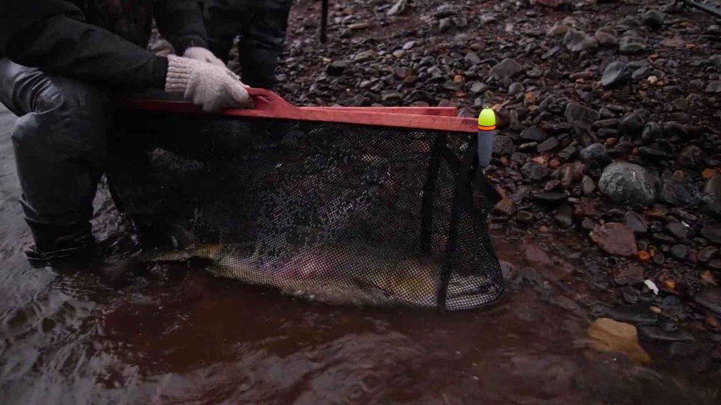 Chum Salmon Techniques